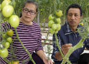 Man and woman squatting down examining tomato plants